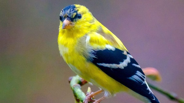 Goldfinch Adult Male Bird