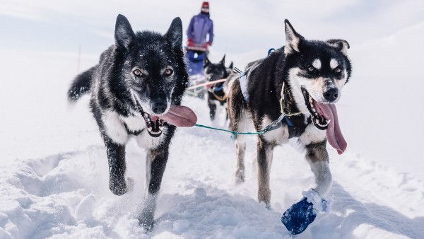 Meet huskies in the Norwegian town of Alta
