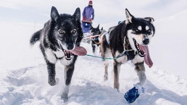 Meet huskies in the Norwegian town of Alta