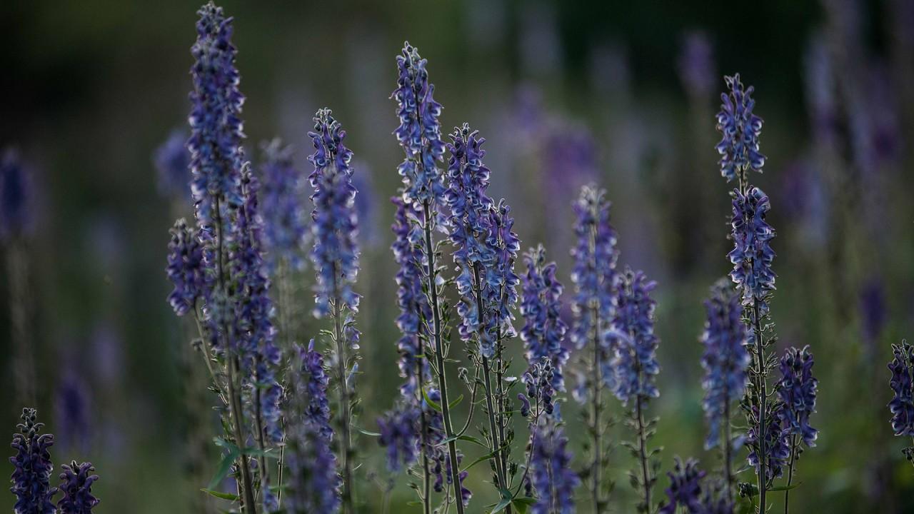 Lavender Meditation